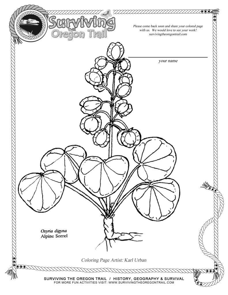 free coloring page flowers alpine sorrel