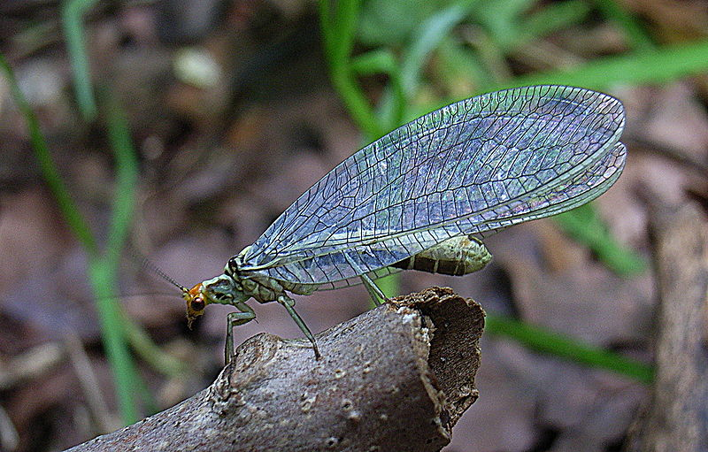 Bug-A-day Common Green Lacewing | Chrysopidae - Surviving ...