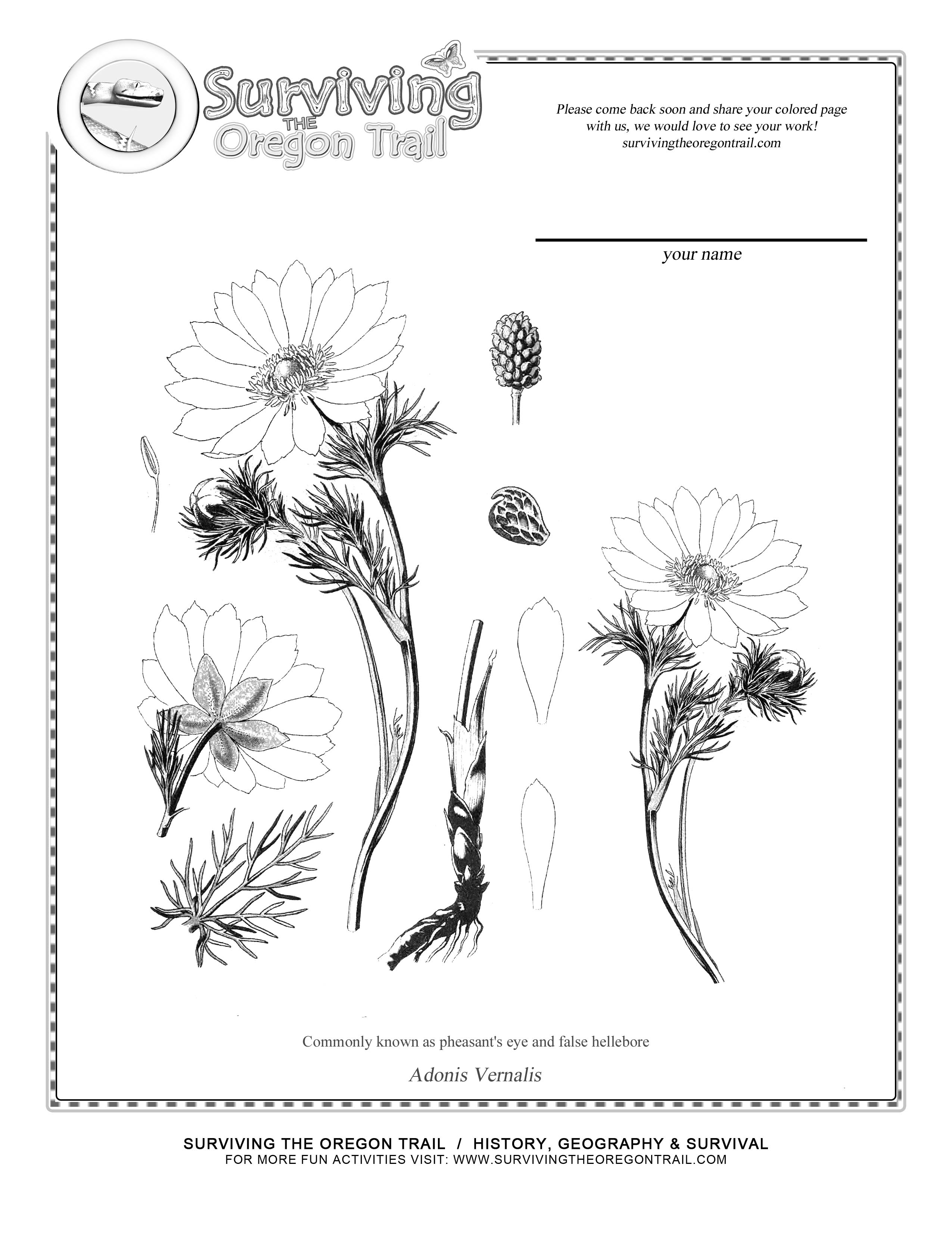 free coloring page of the beautiful adonis vernalis plant and flower commonly known as pheasants eye and false hellebore help your child become more